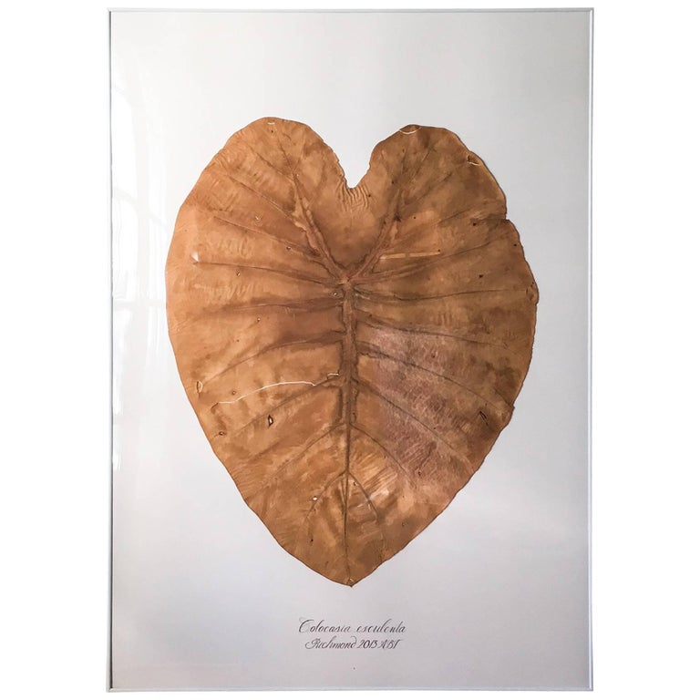 Monumental Pressed Colocasia Leaf by Blackwell Botanicals, 2013