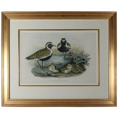 "Audubon School Hand Colored Lithograph ""Charadrius Pluvialis, Linn"" after Gould"