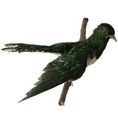 Exotic Bird Wall Mount Taxidermy