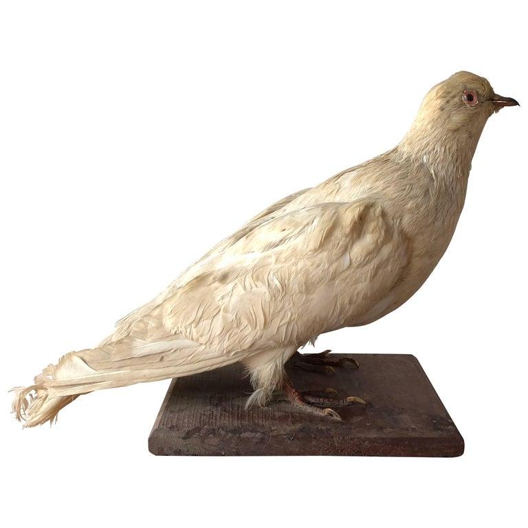 Pigeon Taxidermy