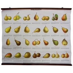 School Wall Chart Pear Varieties, Published by Schreiber & Co, 1952
