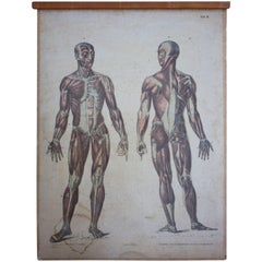 Rare Educational Chart, Muscles, Lithograph, 1899