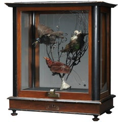 Vintage Case of Three Victorian Paradis Birds