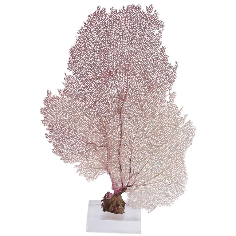 Bahama Sea Fan on Lucite For Sale
