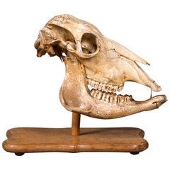 Antique African Giraffe Skull from a Dutch Naturalist's Collection circa 1890