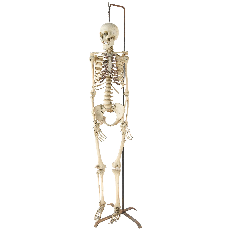 Male Human Skeleton Scientific / Education Model
