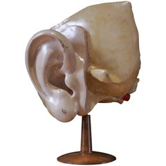 Iner Ear for Cabinet of Curiosity Early 20th Century