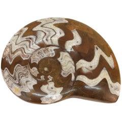 Fossilized Ammonite Cephalopod Shell