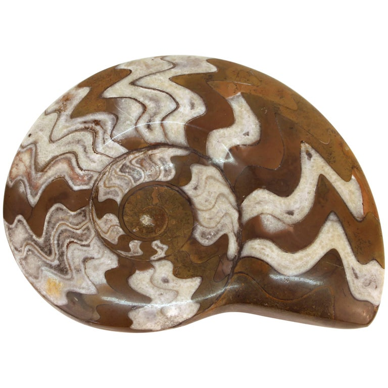 Fossilized Ammonite Cephalopod Shell For Sale