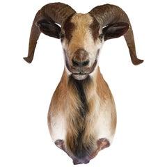 Corsican Ram Goat Shoulder Mount Taxidermy