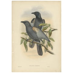 Antique Bird Print of the Slate-Gray Cuckoo-Shrike by J. Gould, circa 1875
