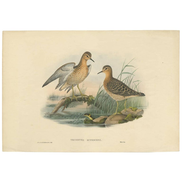 Antique Bird Print of the Buff-Breasted Sandpipe by J. Gould, circa 1870