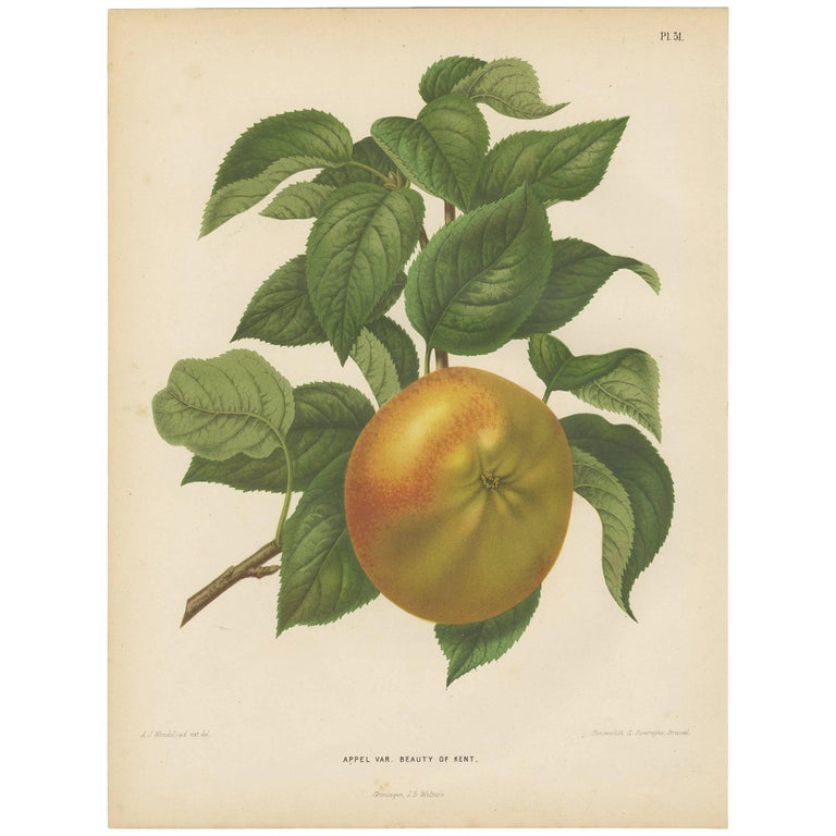 Antique Print of the Kent Apple by G. Severeyns, 1876