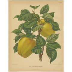 Antique Print of the Winter Princess Apple by G. Severeyns, 1876
