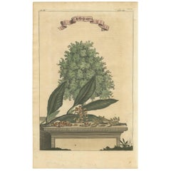 Antique Print of a Clove Tree by Churchill, circa 1744