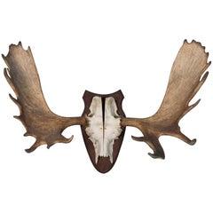 Vintage Wall Mount Moose Antlers