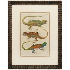 Albertus Seba 18th Century Hand-Colored Print of Three Lizards