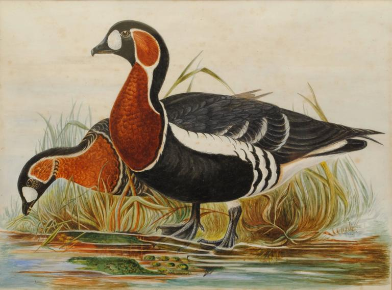 A 19th century watercolor of a pair of red breasted geese at the waterside in original burr maple frame.