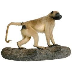 Vintage Baboon Taxidermy Mount