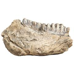 Fossilized Mammoth Jaw