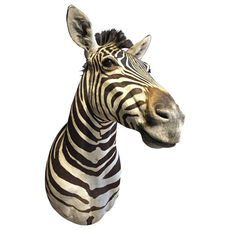 Magnificent taxidermy zebra head For Sale