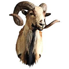 Shoulder Mount Corsican Ram Taxidermy