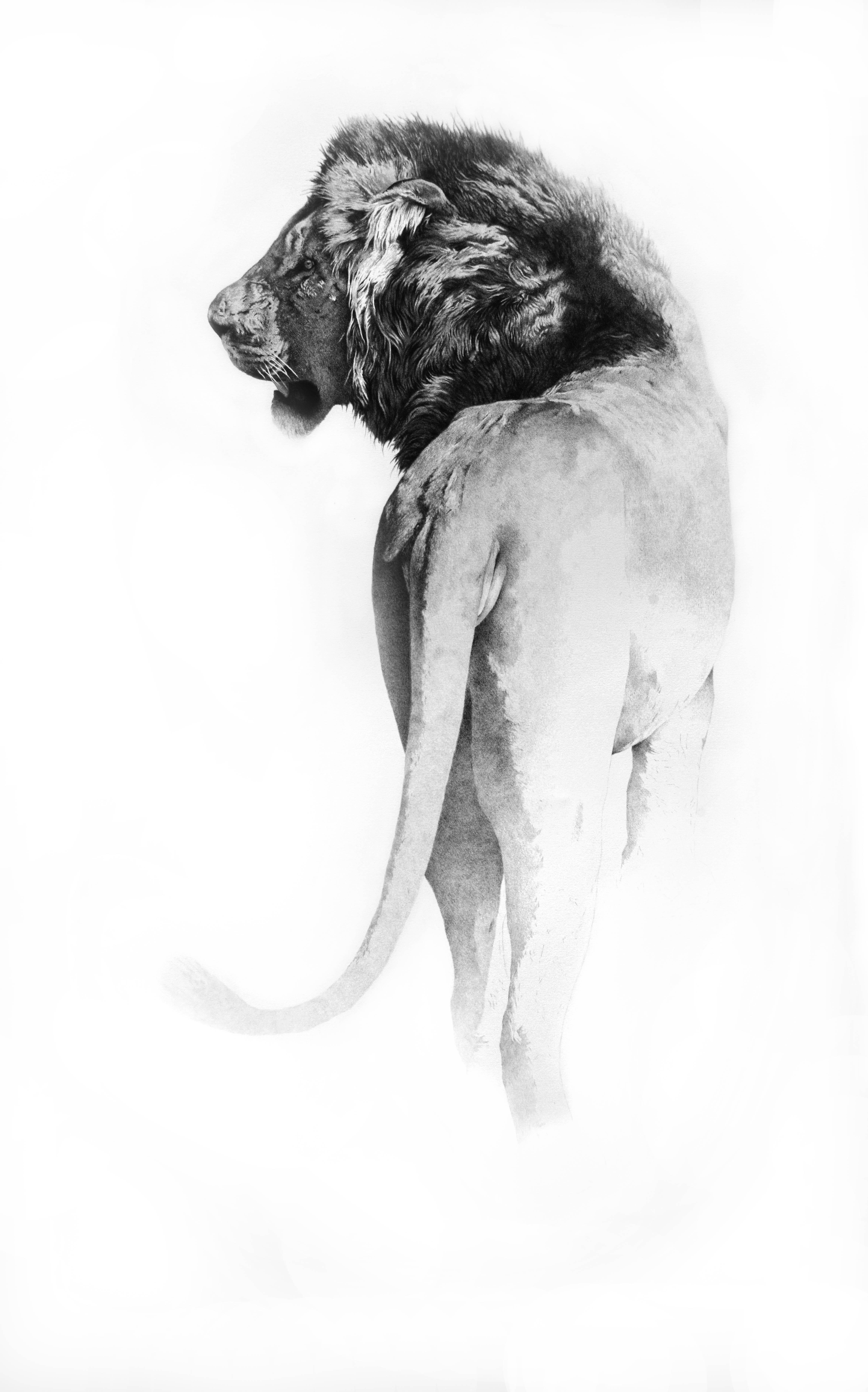 Lion pencil drawing, Italian painter - 21st Century Black and White Animal
