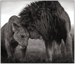 Lions Head to Head, Masai Mara - Black and White Photography by Nick Brandt
