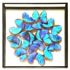 Morphos Butterflies from Peru under Square Glass Frame