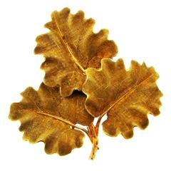 1950s Mario Buccellati Gold Oak Leaves Clip Pin Brooch