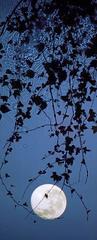 Full Moon Ivy