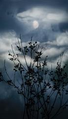 Gibbous Moon Willow