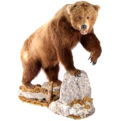 Massive Grizzly Bear Taxidermy
