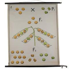 """Botanical School Chart Dr Heimans """"Tafeln Zur Vererbungslehre"""""""
