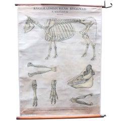 1930s Swedish Bovine Steer Skeleton School Poster