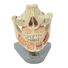 Didactic Anatomic Model of Mandible and Jaw Made in the 1950s