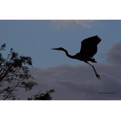Heron Silhouette at Dusk Photograph