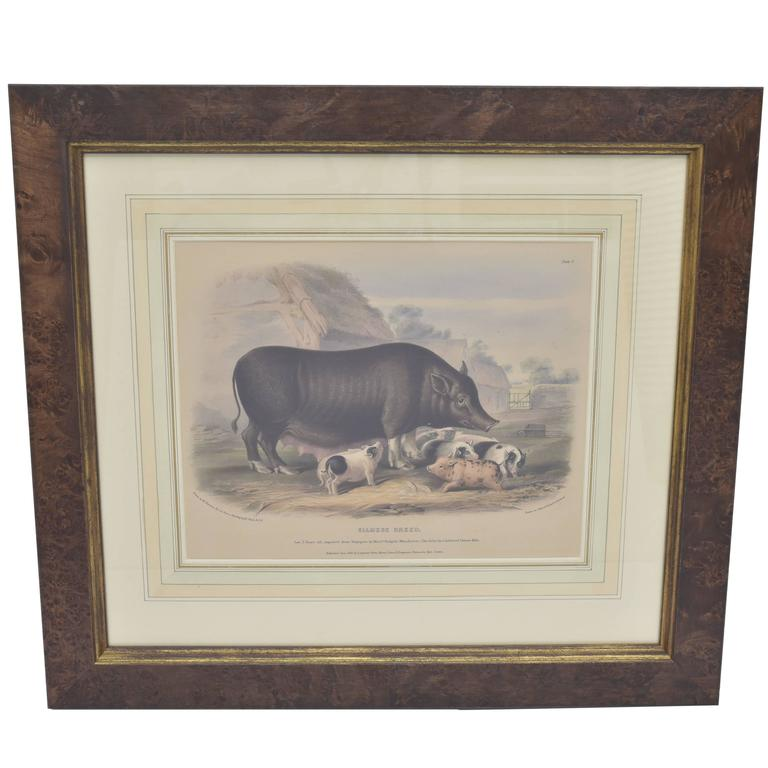 Hand-Colored Plate of Siamese Breed Sow with Piglets, 19th Century