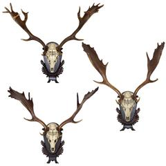 Single or Set of Three 19th c. German Fallow Deer from the Baron von Schilling