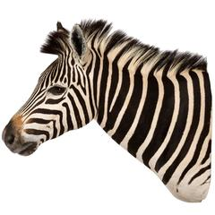 Rare African Taxidermy Large Burchell Zebra Head