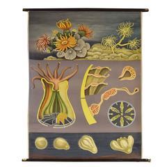 German Educational Poster of Sea Anemone