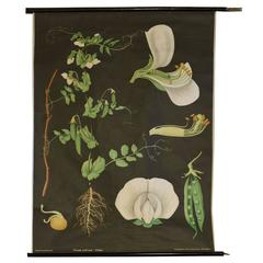 German Educational Poster of a Pea Plant