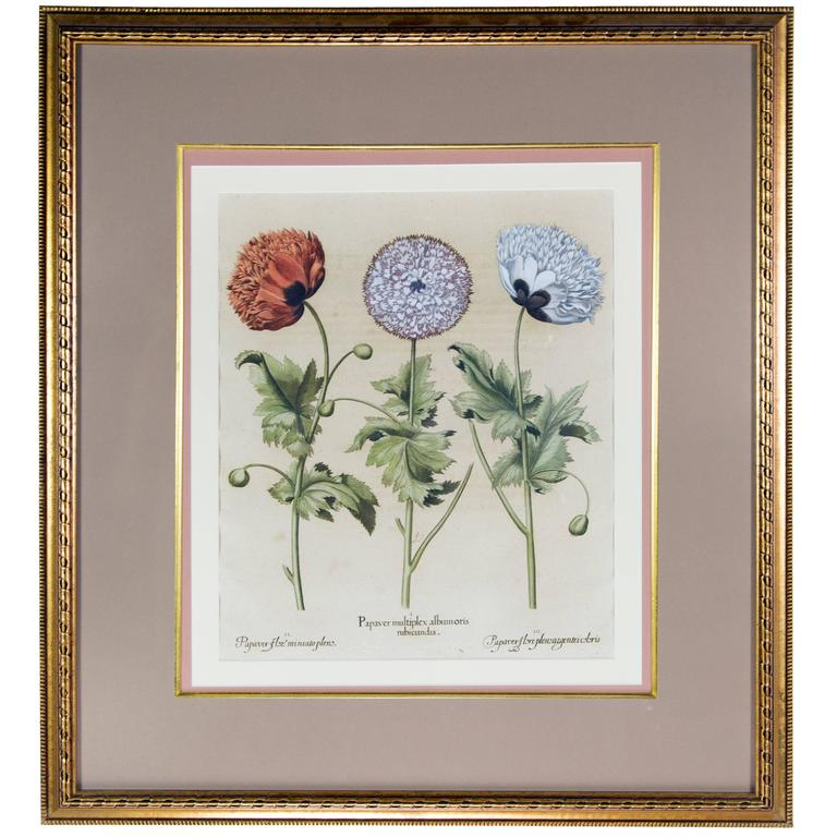 Basilius Besler Botanical Hand-Colored Engraving of Poppies