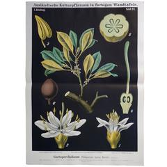 Antique 19th Century German Educational Wall Chart of a Guttapercha Plant