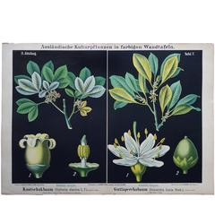 19th Century German Wall Chart of a Rubber Tree and a Guttapercha Plant