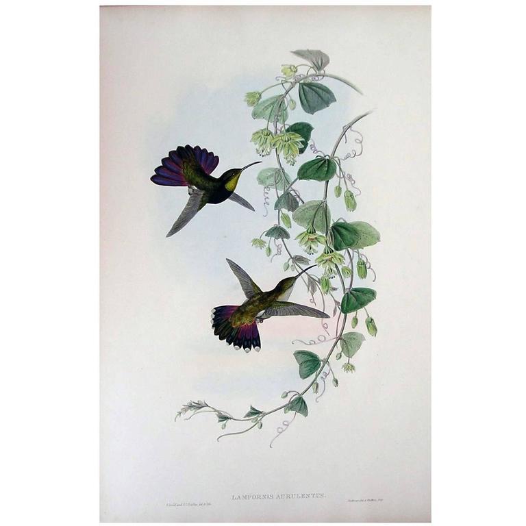 John Gould Original Hand Colored Lithograph, 'Lampornis Aurulentis'