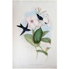 John Gould Original Hand Colored Lithograph, 'Thalurania Refulgens'