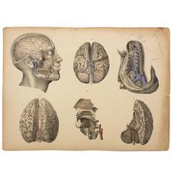 Rare Anatomical School, Teaching Chart, Brain, M.J. Weber, 1830