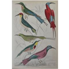 Original Antique Print of Exotic Birds, 'Bee-Eaters', circa 1830, Folio