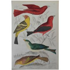 Original Antique Print of Exotic Birds 'Tanagers,' circa 1830, Folio